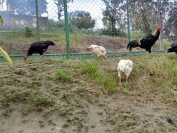 Vendo galinhas e galo
