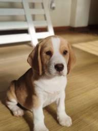 Título do anúncio: Mini Beagle - 13 Polegadas com Pedigree em Mãos