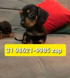 Título do anúncio: Canil Filhotes Cães Diferenciados BH Basset Lhasa Beagle Shihtzu Lhasa Yorkshire Maltês