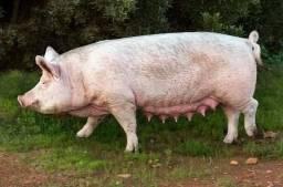 Título do anúncio: Carne de porco