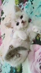 Título do anúncio: Gatinha angora