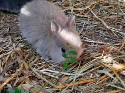Título do anúncio: Filhotes de mini coelhos anões