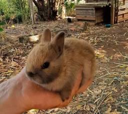 Título do anúncio: Mini coelhos e coelhos anões