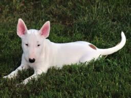 Bull terrier lindos filhotes disponíveis femea e macho