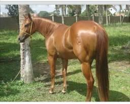 Égua de esteira P O á venda Registro: P-152938
