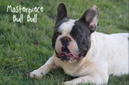Bulldog Frances Blue Pied para Cobertura