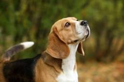 Beagle para cruza