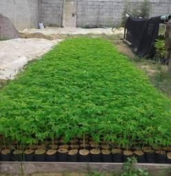Moringa oleifera - mudas