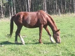 Égua paulista
