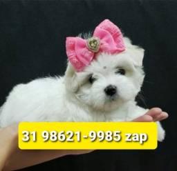 Título do anúncio: Belíssimos Filhotes Cães BH Maltês Basset Shihtzu Lhasa Poodle Yorkshire