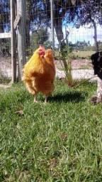 Título do anúncio: Vendo ou troco aves, galinhas, galos, gansos, patos