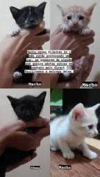 Adoção de filhotes de siamês
