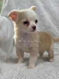 Chihuahuas diversas cores!!!! Confira as mais perfeitas padrão e linhagem
