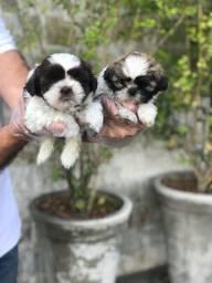 Shih Tzu - Filhotes com garantia total e suporte veterinário - (11)9.5932-0322 Venâncio