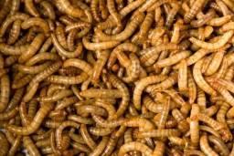 Tenébrio larvas Molitor