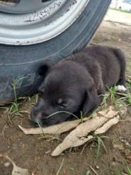 Filhote de Labrador macho