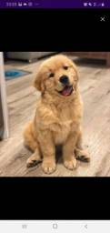 Golden retriever 3.500