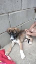 Título do anúncio: Doação cachorro filhote ,busca o mais rápido possível,meu filho não se adaptou com ele