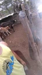 2 Vacas de Raça