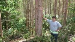 Fazenda de pinus 40 alqueires em dr ulisses, cerro azul