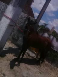 Vendo cavalo de marcha picada