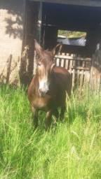 Vendo burro e mula de caroça