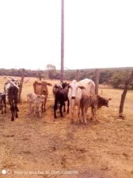Vacas de corte paridas