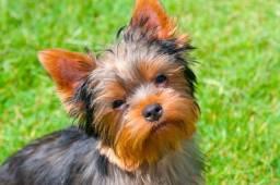 Título do anúncio: Yorkshire Terrier, Garantias em Contrato e Pedigree!!