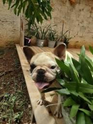 FILHOTES ENCANTADORES DE BULL DOG FRANCES