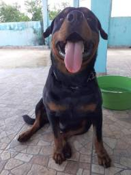 Cachorro rottweiler 2 anos