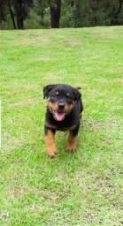 Título do anúncio: Canil Euro Filhotes de Rottweiler de alta genética 12x