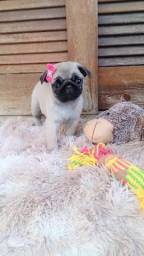 Pug lindíssima com pedigree! Garantia de saúde viral