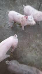 Título do anúncio: Porcos
