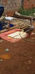 Vendo casal de ganso sinaleiro pardo
