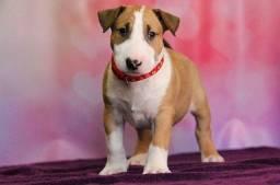 Título do anúncio: Belos filhotes de Bull Terrier