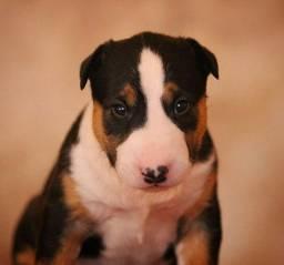 Título do anúncio: Fofos filhotes de Bull Terrier