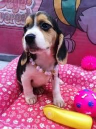 Beagle macho e fêmea em promoção