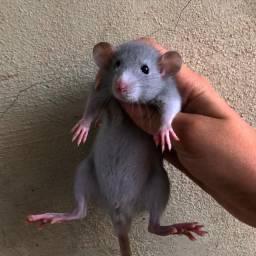 Título do anúncio: Ratinho de estimação