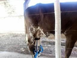 Vaca girolanda 1° cria genetica excelente preço para vender