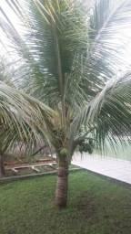 Vendo coqueiro anão produzindo