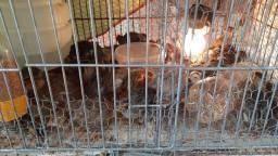 Codorna, pintinhos, galinhas e galo