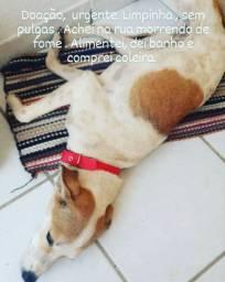 Adoção cadela cachorro