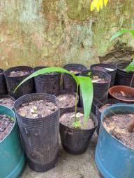 Palmeira real ( mudas e sementes)