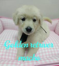 Título do anúncio: golden retriever macho amoroso.