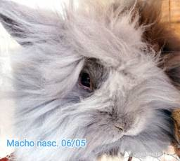 Título do anúncio: Vendo esses coelhos matrizes tamanho anão (35cm) mini lion bairro Floramar