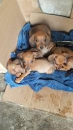 Título do anúncio: Filhotes Bassê dachshund
