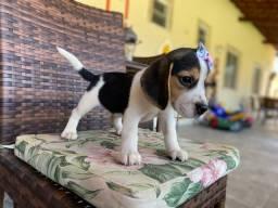 Beagle com pedigree Femea em até 10x