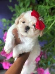 Fêmea Shih tzu porte pequeno lindo com pedigree