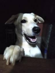 Cachorro mestiço Labrador/Golden