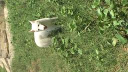 Vendo uma husky siberiana